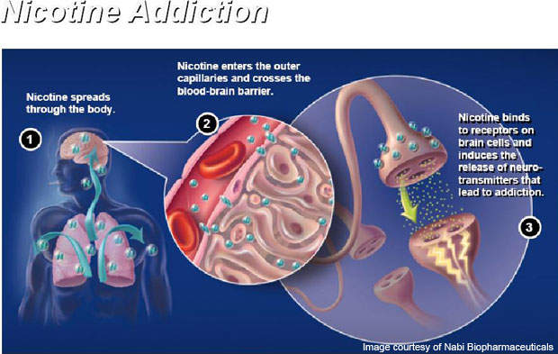 Nicotine enters the bloodstream and reaches the brain.
