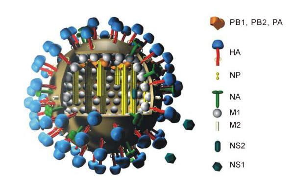 Baxter International is developing Celvapan as a vaccine against the H1N1 swine flu pandemic.