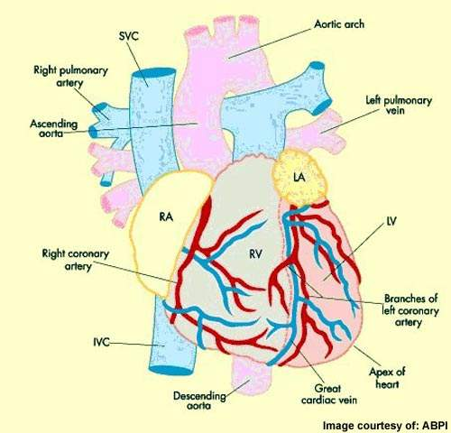 Diagram of the heart.