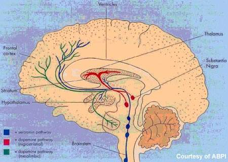 The hypothalamus is important for regulating the body's sleep-wake patterns.