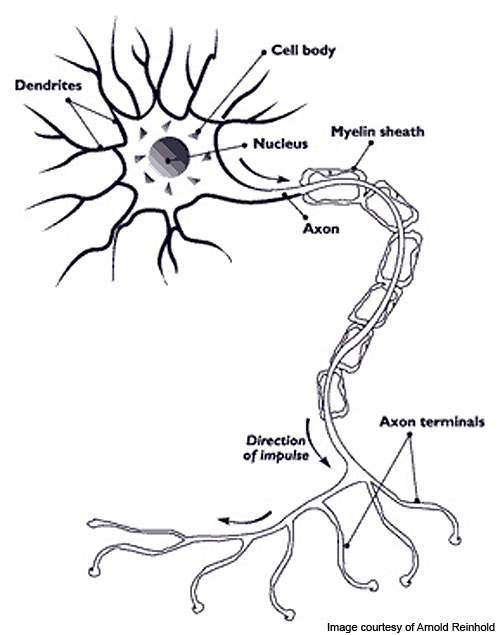 Multiple sclerosis (MS) is caused when myelin insulation gets damaged.