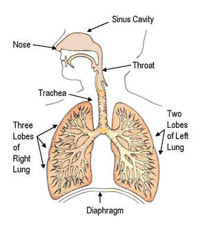 Antisomas1 drug development technology diagram of the respiratory system asa404 can help target the symptoms of lung cancer ccuart Choice Image