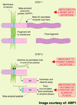 Amyloid Precursor Protein (APP) is cleaved by beta- and gamma-secretases.