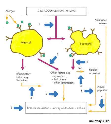 Potential therapeutic targets for asthma medications.