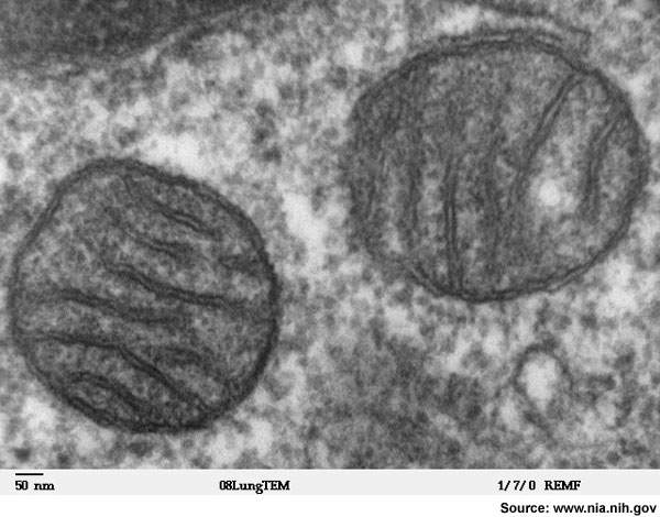 Transmission electron microscope image of a thin section cut through an area of mammalian lung tissue. The high magnification image shows a mitochondria.