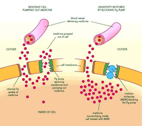 An illustration of how multidrug resistant inhibitors (MDRIs) can block the p-glycoprotein (Pg) of resistant tumour cells and restore senstivity to cancer drugs. (Source: ABPI)