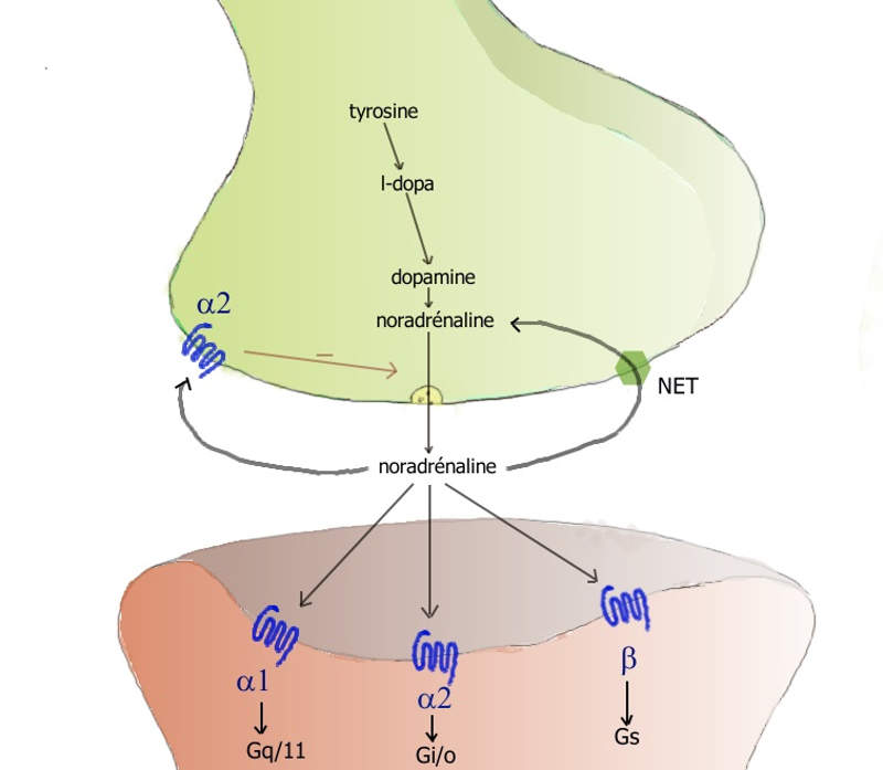 Mydayis works by stopping the reuptake of norepinephrine and dopamine into the presynaptic neuron. Image courtesy of Pancrat.