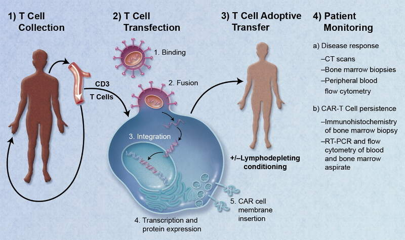 The drug re-programmes the patient's T cells with a transgene encoding a chimeric antigen receptor (CAR). Image courtesy of Caron A. Jacobson and Jerome Ritz.
