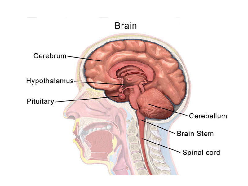 Seizure is a physical behaviour that occurs due to an abnormal electrical activity in the brain. Image courtesy of BruceBlaus.