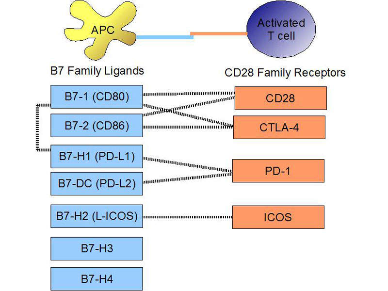 Tecentriq® binds with PD-L1 protein and restrains interactions with both PD-1 and B7.1 receptors.