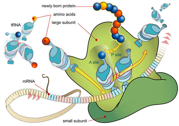 Synribo obstructs the development of cancerous cells.