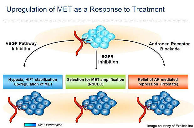 The upregulation of MET in response to treatment with cabozantinib.