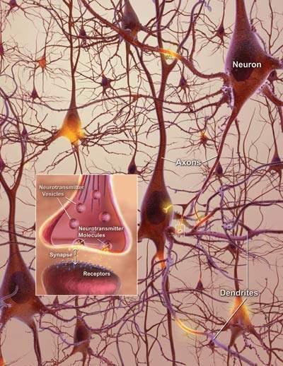 Neurons in the brain. Source: www.nia.nih.gov.