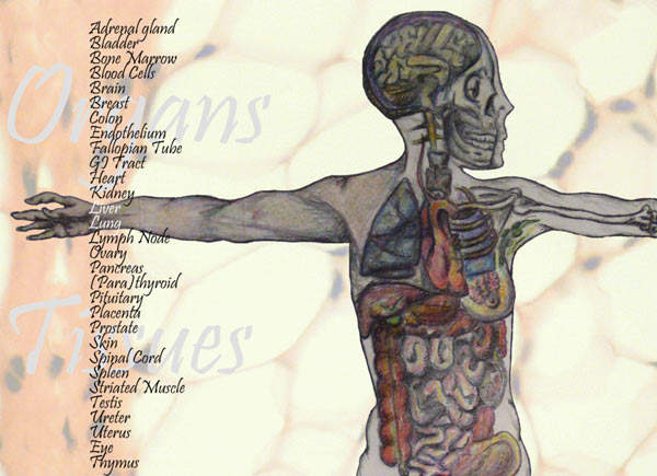 Normal tissues for antibody cross-reactivity studies