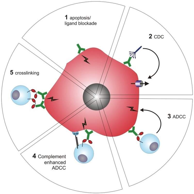 Ocrelizumab selectively targets the CD20-positive B cells by binding to the surface proteins of the cells. Image courtesy of National Library of Medicine.