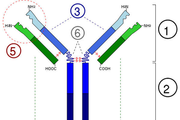Alprolix contains a combination of factor IX protein and immunoglobulin G subclass 1 antibody. Image: courtesy of Y tambe.