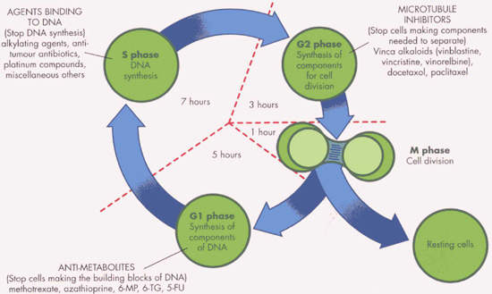 The cell cycle showing the points at which some classes of anti-cancer agents act.