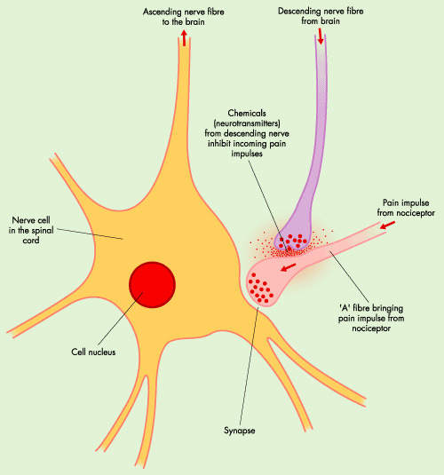 Diagram showing inhibition of pain signals