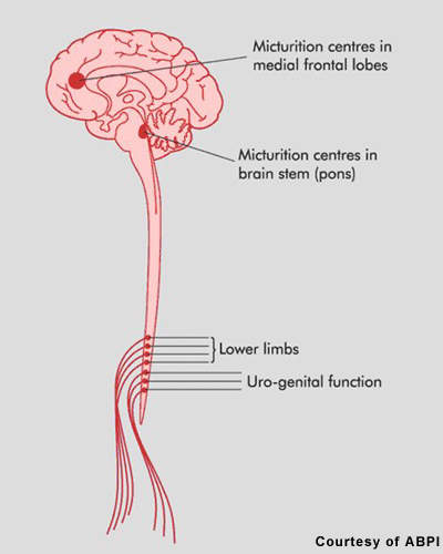 Damage to spinal cord nerves affecting the lower limbs is likely to be accompanied by bladder problems, as the bladder is controlled by nerves from the lowest part of the spinal cord.