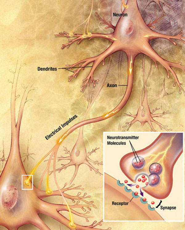 The neurotransmitters send signals from a neuron to a target cell across a synapse.