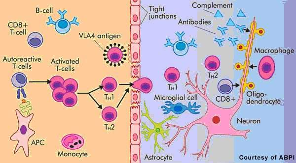 Cells involved in MS