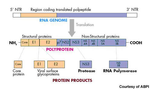Some of the proteins produced by translation of the HCV genome and cleavage of the resulting polyprotein are targets for new antivirals in development – in particular, the protease NS3 and the RNA polymerase NS5b.