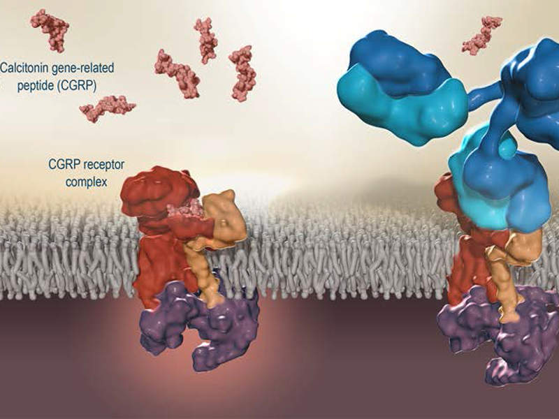 Aimovig (erenumab) is a monoclonal antibody that blocks the CGRP receptor. Image courtesy of Novartis AG.