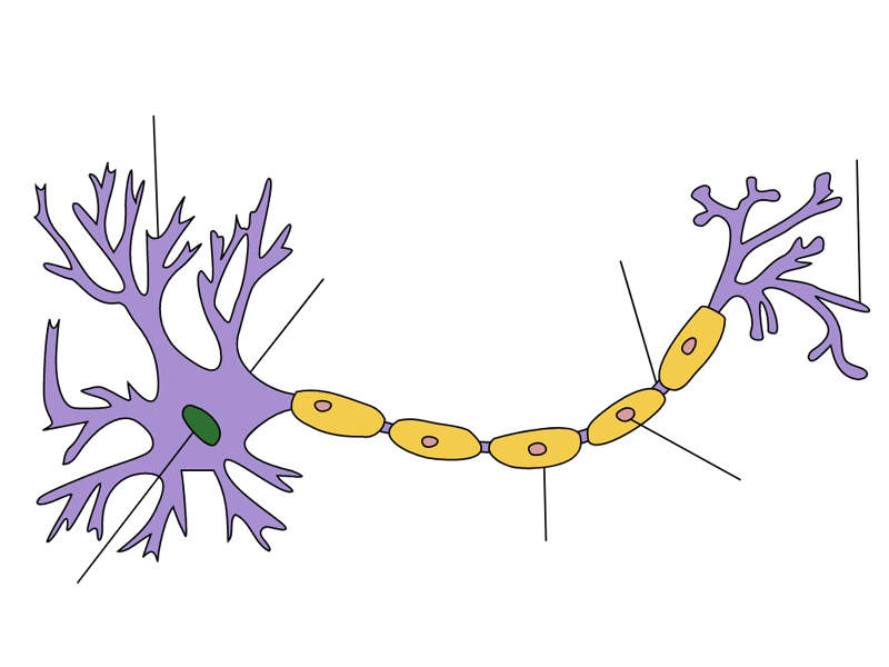 CIDP is a neurological disease that affects the peripheral nerves. Image courtesy of Quasar Jarosz.