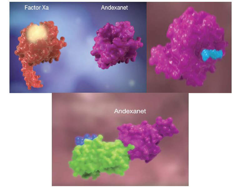 Andexanet alfa contained in Andexxa® is a recombinant protein that blocks factor Xa (fXa) inhibitors. Image courtesy of Christos et al/National Center for Biotechnology Information, U.S. National Library of Medicine.