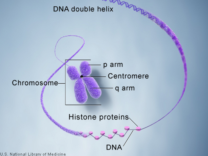 The drug is a recombinant version of DNA-derived coagulation factor VIII concentrate with prolonged half-life. Image courtesy of U.S. National Library of Medicine.
