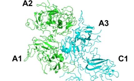 Coagulation factor VIII (FVIII) is an essential blood-clotting protein.